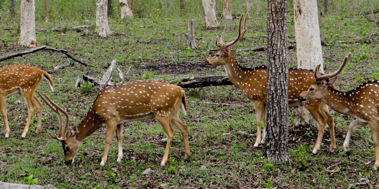 Bandipur – a bike trip from Bangalore to Nature's adobe
